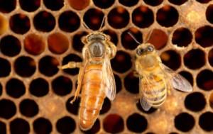 queen honeybee 2